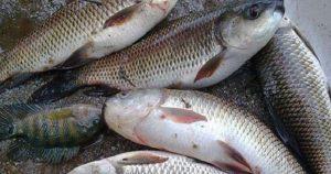 রংপুরে মাছ উৎপাদন: বছরে ঘাটতি ৯০ হাজার মেট্রিক টন