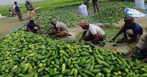 সিরাজগঞ্জে খিরা চাষে ব্যাপক লাভবান কৃষক